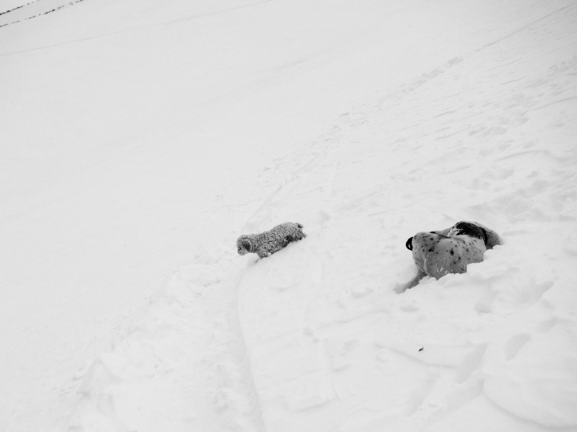 Petite forme chez les chiens skieurs